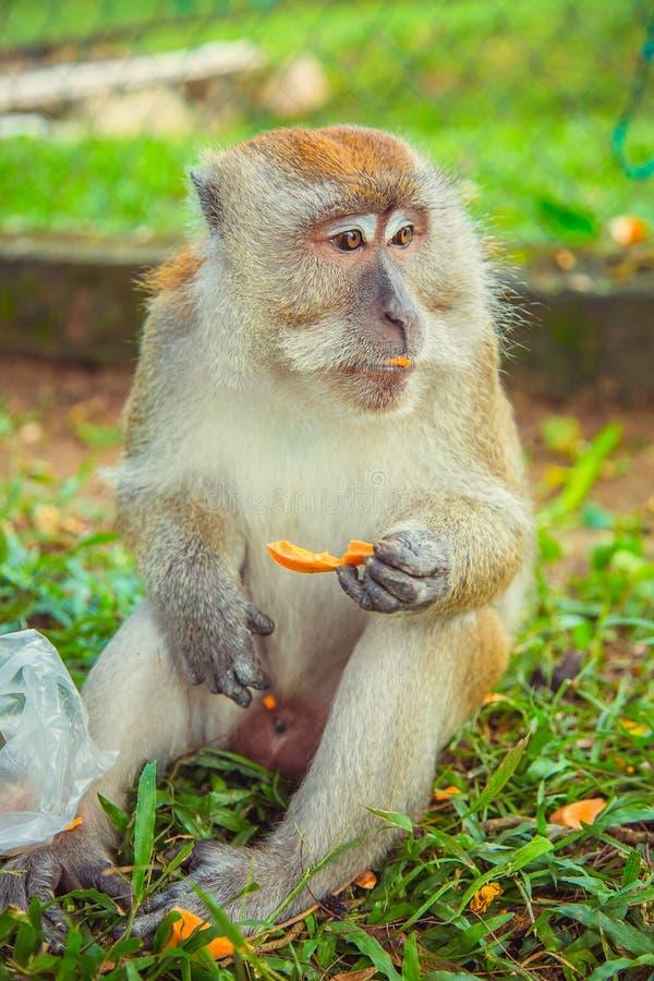 Makakenaffe, der Lebensmittel isst stockfotos