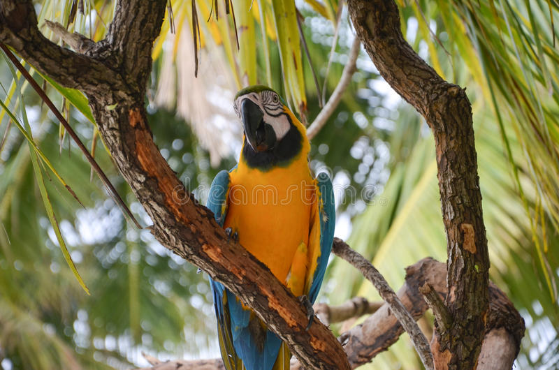 Macao parrot royalty free stock photography