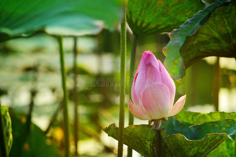 Make meditation with Indian Lotus, Sacred Lotus, Bean of India in lagoon picture with evening light stock photography