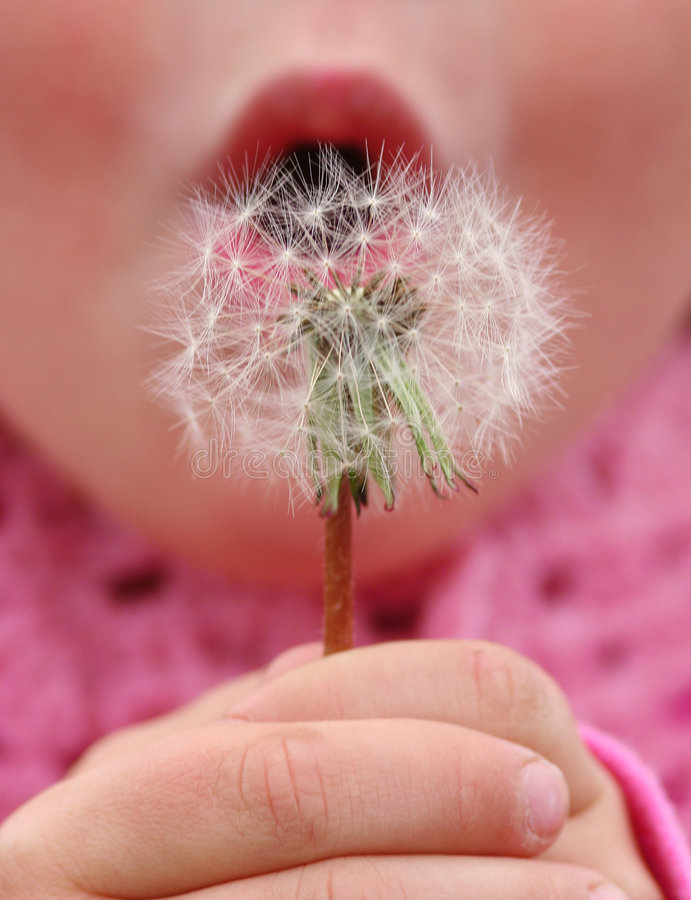 Make a wish. 4 year old girl about to blow seeds of a dandelion flower to make a wish