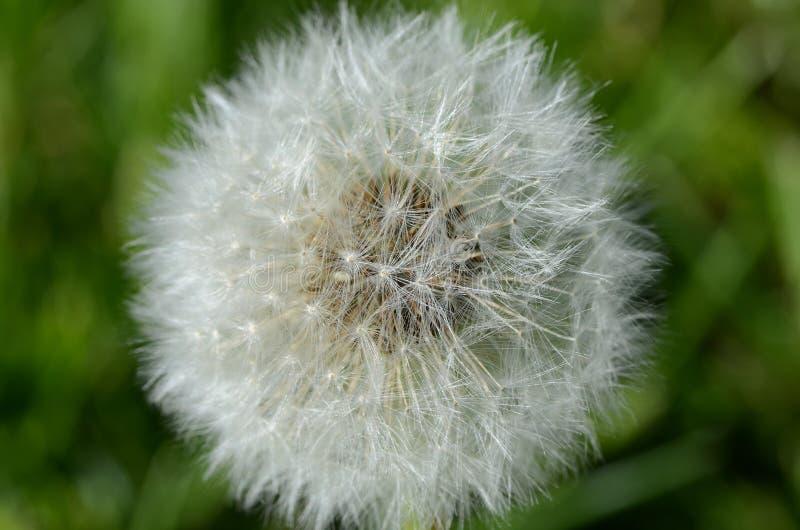 Download Dandelion Seed Pod In Macro Stock Image - Image of white, macro: 113106773