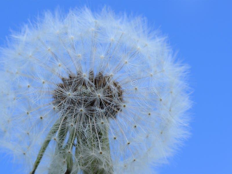 Download Make a wish - dandelion stock image. Image of nature - 91759289