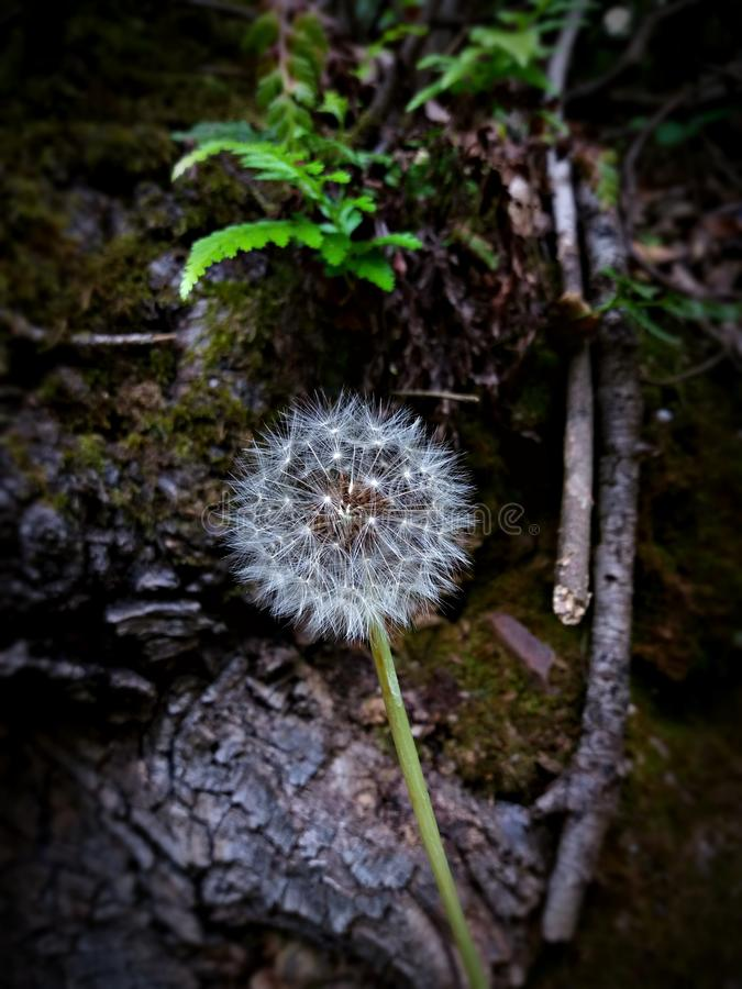 Make a wish and fly. Make a wish and help this dandelion to spread their spores. Lonely dandelion in the forest during the spring season, surrounded by ferns and