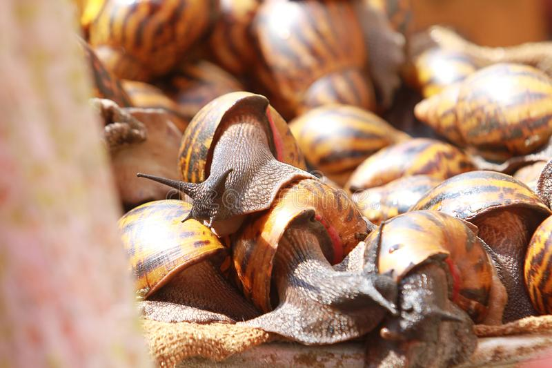 A makeshift stall of snails at a street market in Accra, Ghana. A makeshift stall of live, raw, fresh, organic snails at a street market in Accra, Ghana royalty free stock photos