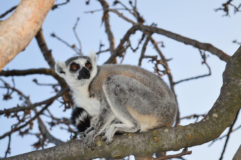 Maki auf dem Baum lizenzfreie stockfotografie