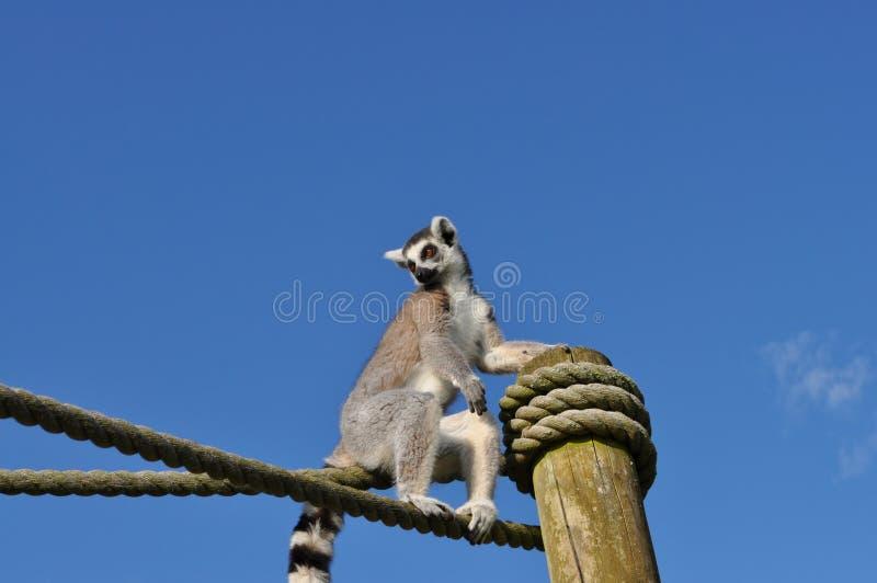 Maki, der auf Seil mit Hintergrund des blauen Himmels klettert stockfotos