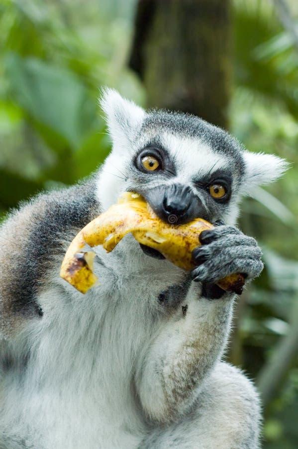 Maki die banaan eet royalty-vrije stock foto