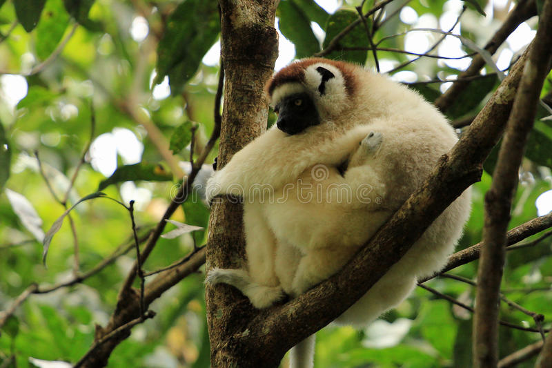 Maki en de baby, Madagascar royalty-vrije stock afbeeldingen