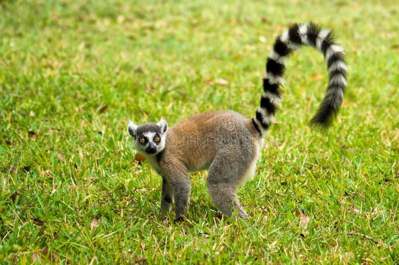 Maki, lemur du Madagascar image libre de droits