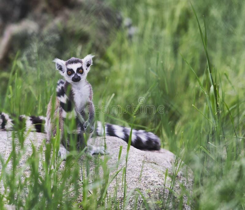 Makier sitter bland det gröna gräset arkivfoto