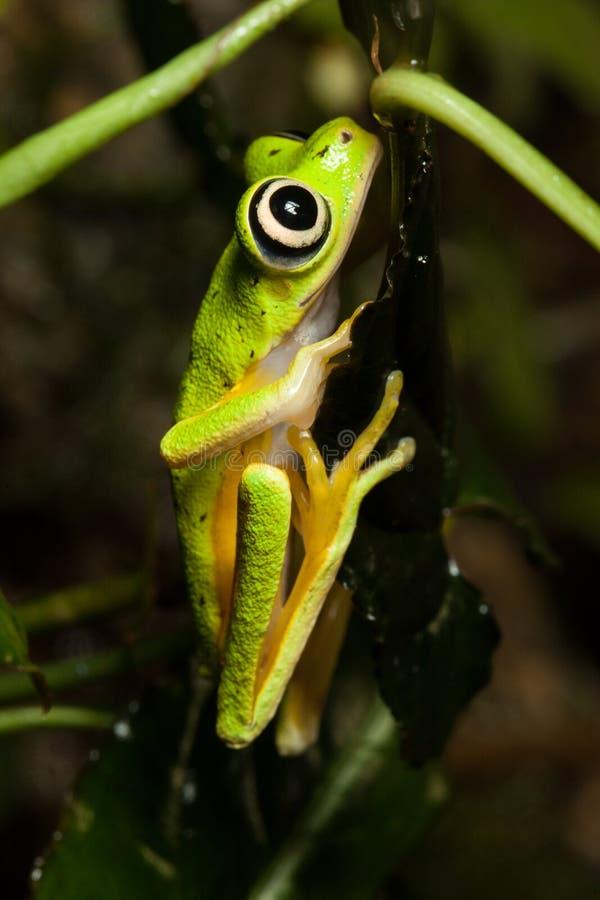 Makigrodan, stora ögon på bladet, lodlinje poserar royaltyfria bilder
