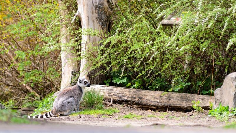 Makikatta zit bij een ten val gebrachte boomstam Zonnige de lentedag stock foto's
