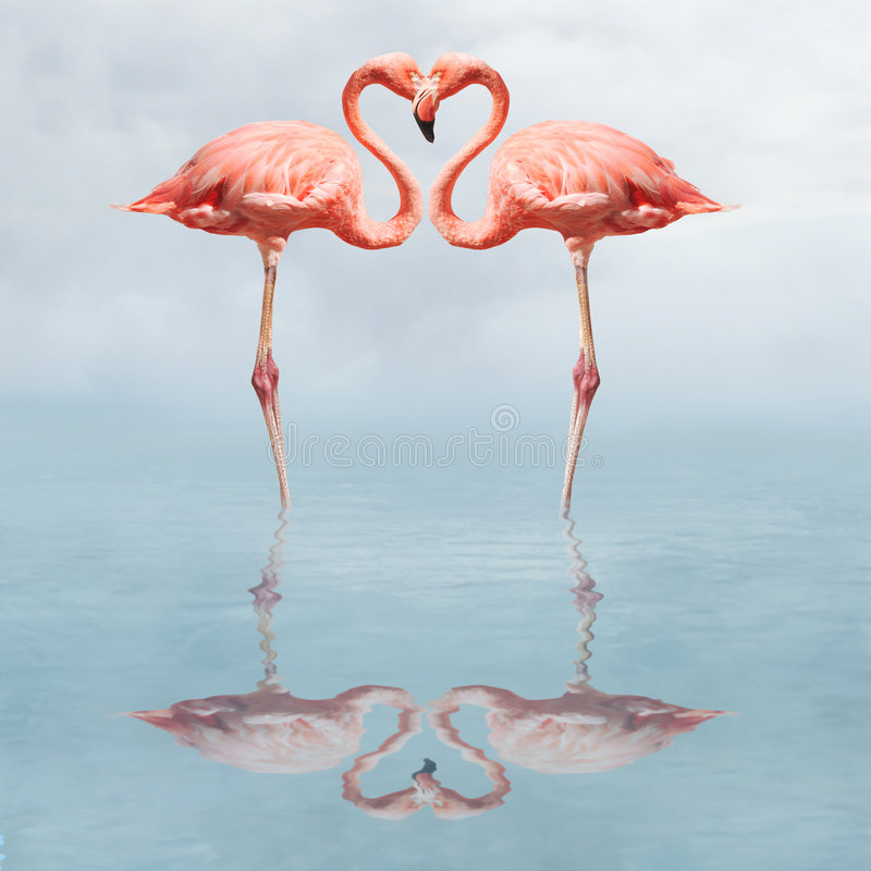 Making love. Flamingos in water making a heart shape