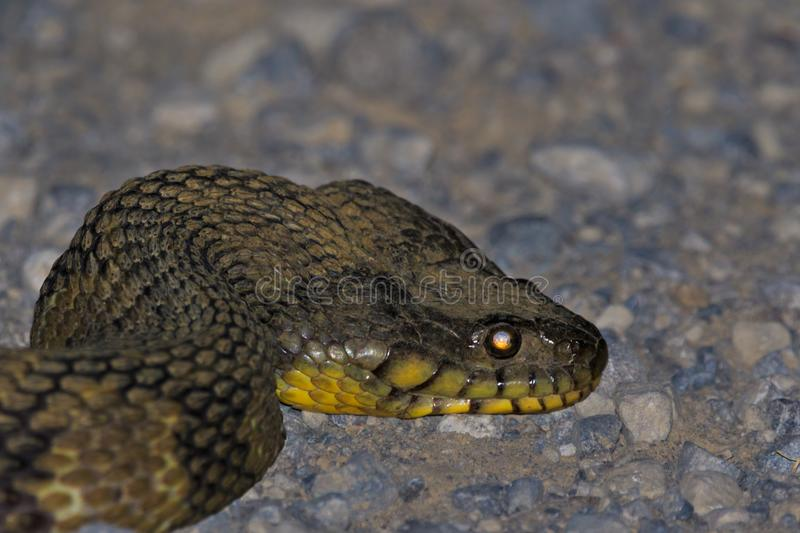 SNAKE!!!. While making our way out of the Bald Knob Wildlife Refuge we came across a 4ft Diamond Back Water Snake non-venomous slithering across the road. Bald stock photo