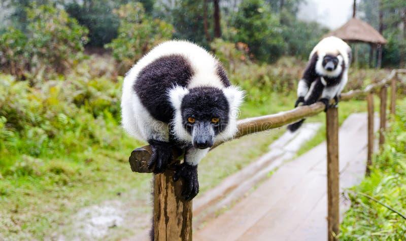 Makis in Andasibe-Park Madagaskar lizenzfreies stockfoto