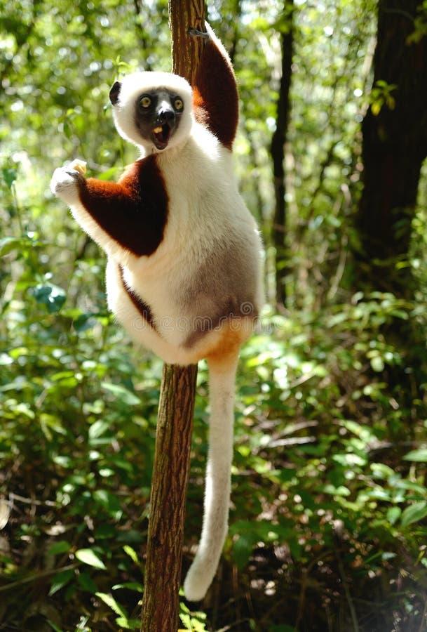Makis in Madagaskar lizenzfreie stockfotografie