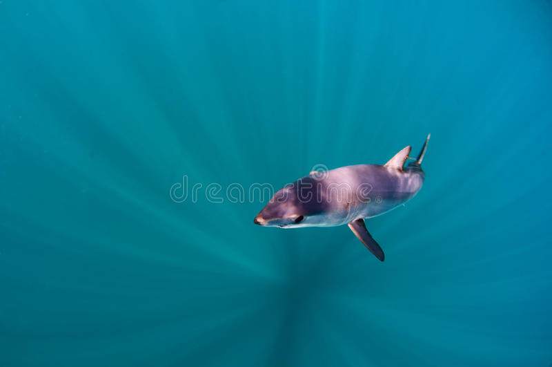 Mako Shark fotos de archivo