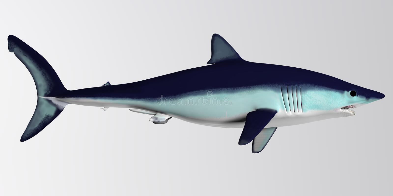 Mako Shark Side Profile lizenzfreie stockfotografie