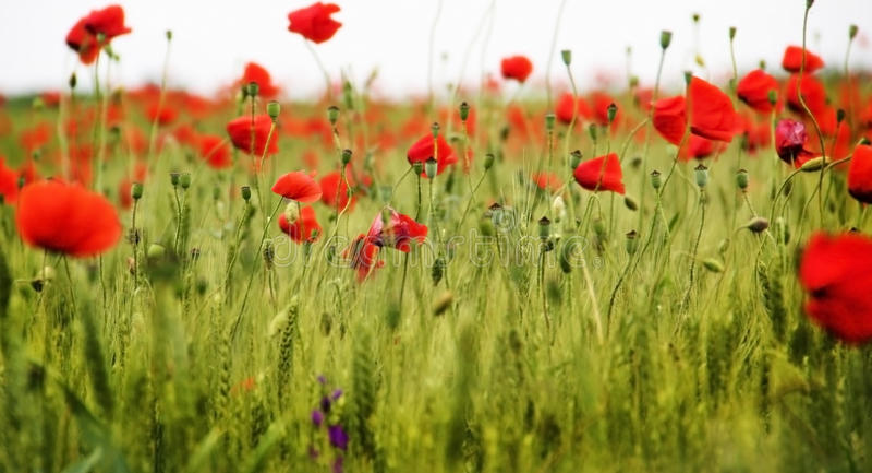 Makowi kwiaty zdjęcie stock