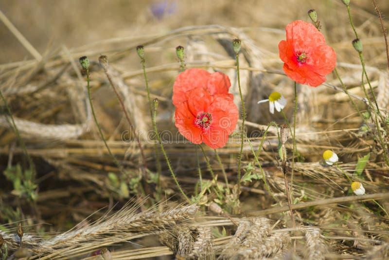 Download Makowi kwiaty zdjęcie stock. Obraz złożonej z kwiat, farm - 57669624