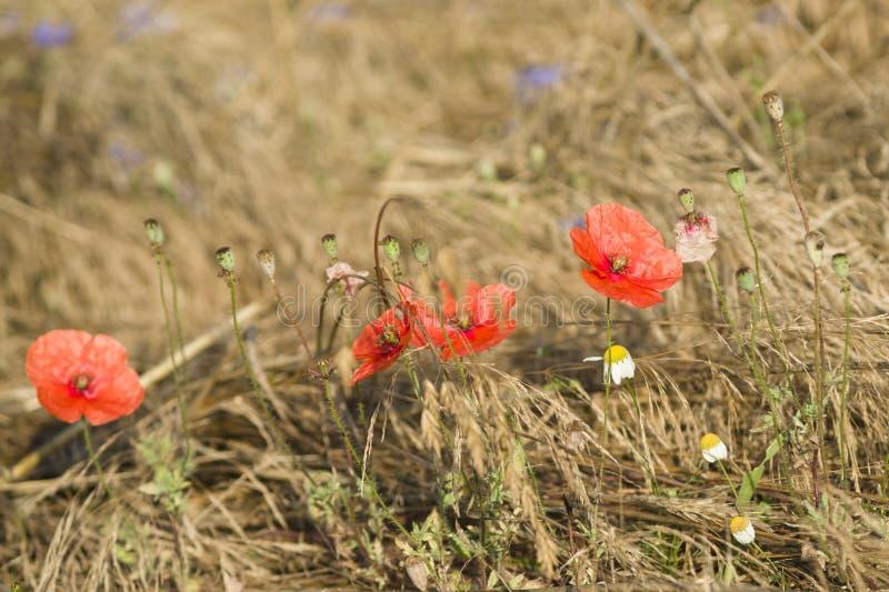 Download Makowi kwiaty obraz stock. Obraz złożonej z zboże, zbliżenie - 57669627