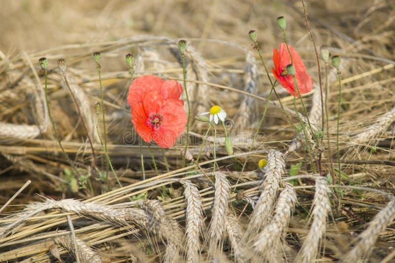 Download Makowi kwiaty zdjęcie stock. Obraz złożonej z lato, naturalny - 57670046