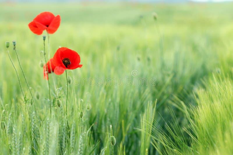 Makowi kwiaty zdjęcia stock