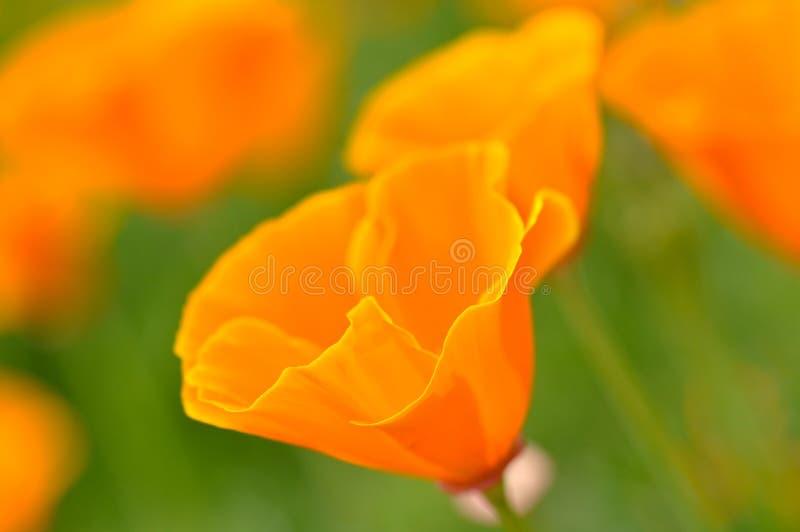 makowy California wiosna zamknięta makro- makowa obraz stock
