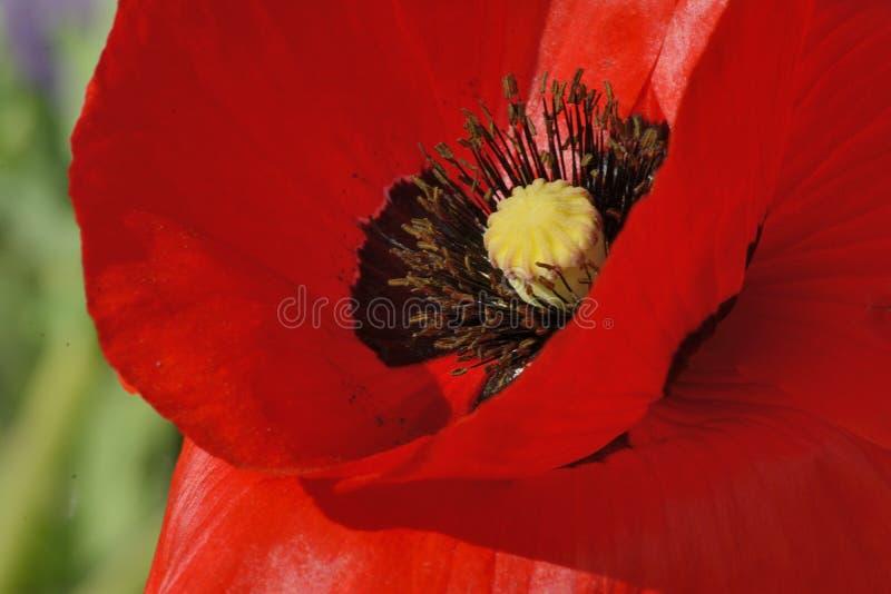 Makowy kwiat zdjęcia stock