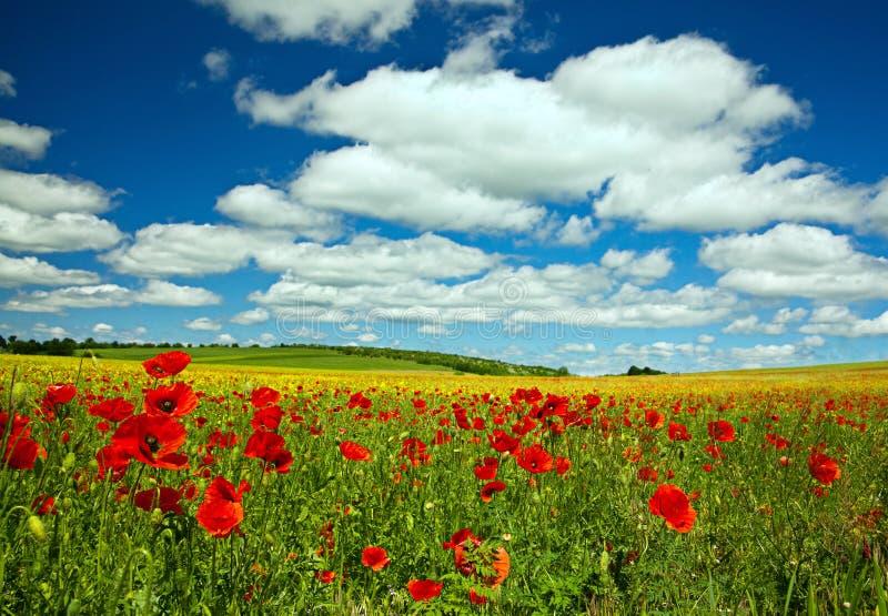 Makowy kwiat obrazy royalty free