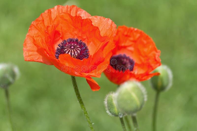 Makowy kwiat obrazy stock