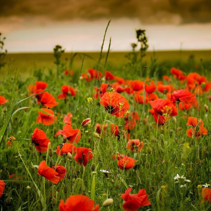 Makowy kwiat zdjęcie royalty free