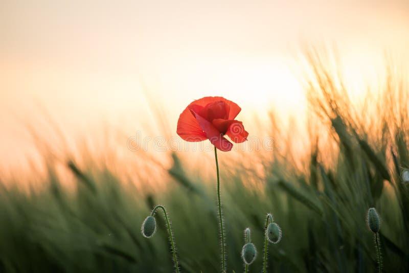 Makowy kwiat wśród pola zieleni zboże ucho przy zmierzchem Sztuki fotografia obraz stock