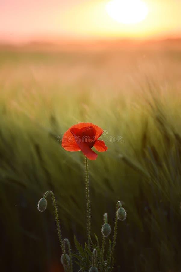Makowy kwiat wśród pola zieleni zboże ucho przy zmierzchem Sztuki fotografia zdjęcia royalty free