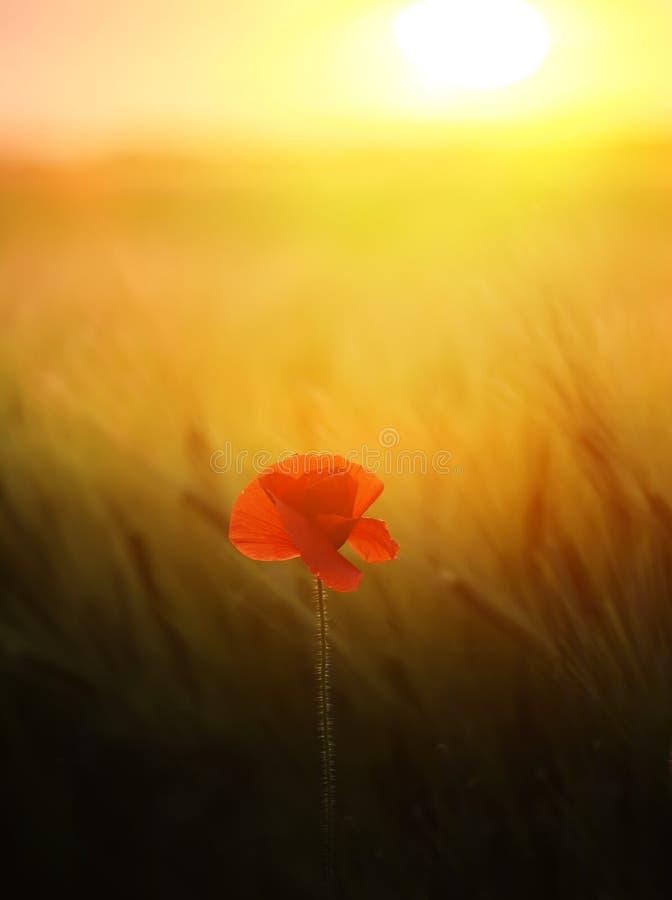 Makowy kwiat wśród pola zieleni zboże ucho przy zmierzchem Sztuki fotografia zdjęcie royalty free