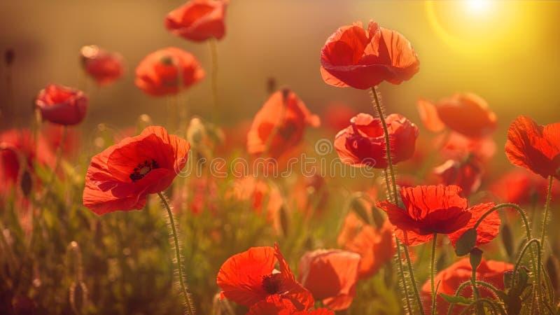 Makowy kwiat w słońcu obraz royalty free