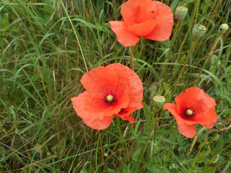 Makowy kwiat z czerwonym okwitnięciem obraz royalty free