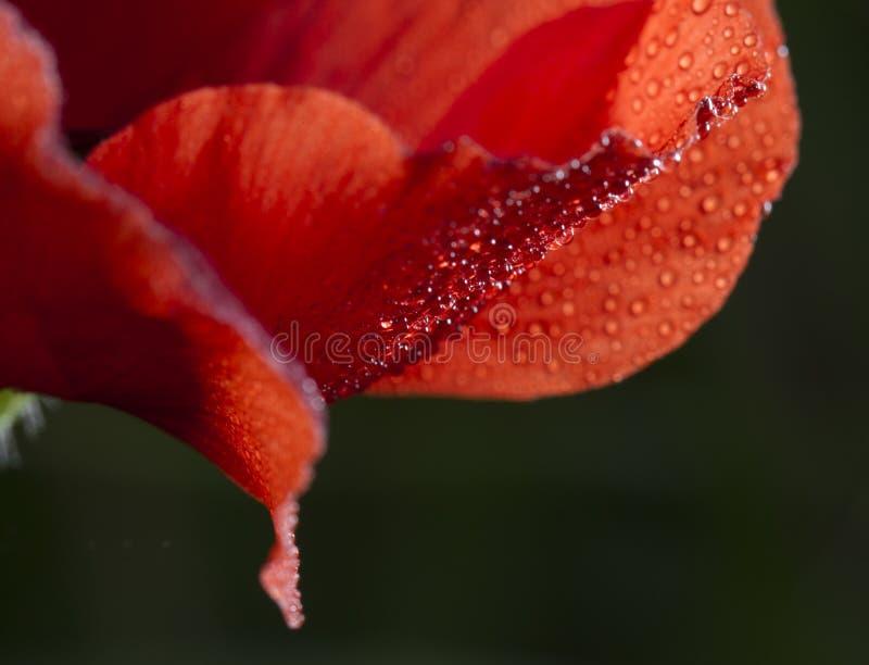 Makowy kwiat z małymi raindrops obrazy stock