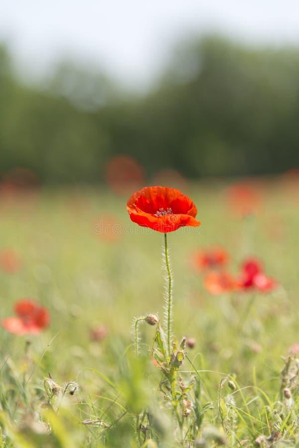 Makowy kwiat z plamy tła polem maczki pionowo obraz royalty free