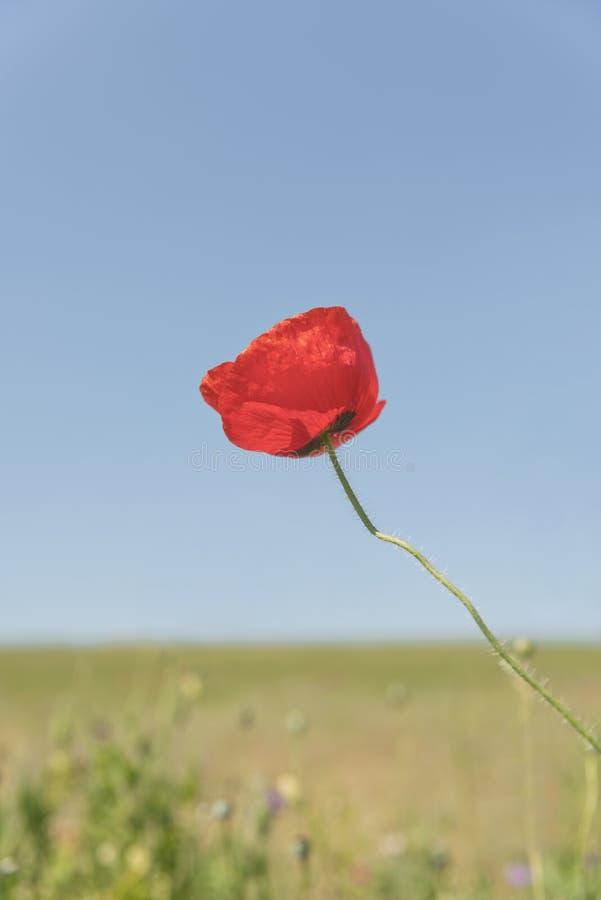 Makowy kwiat z plamy tła polem maczki pionowo zdjęcia royalty free