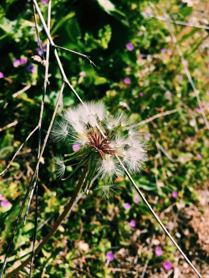 Makowy kwiat z roślinami w tle obraz royalty free