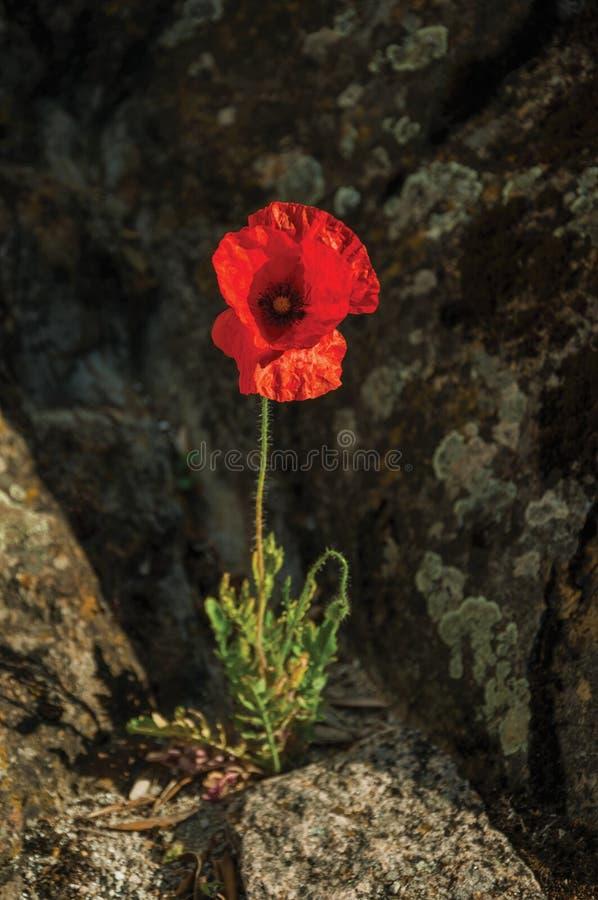 Makowy kwiatu dorośnięcie po środku kamieni zdjęcia stock