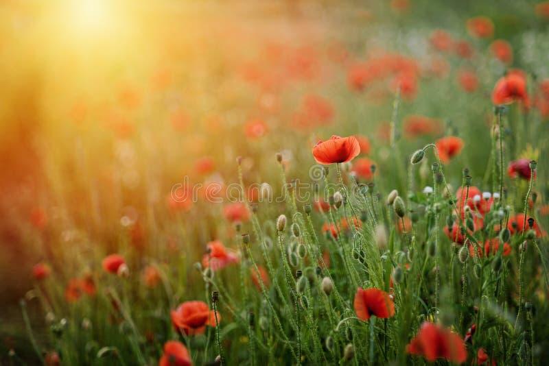 Makowy kwiatu pola natury wiosny t?o Kwitn?cy maczek pami?ci symbol Armistycjum lub wspominania dnia t?o zdjęcie royalty free