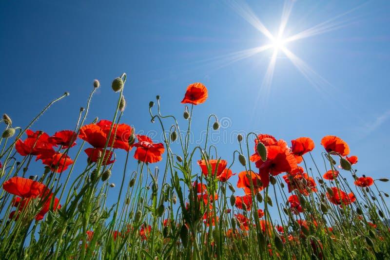 Makowy ` s pole w lecie, zamyka up z jasnym niebieskiego nieba tłem obraz stock