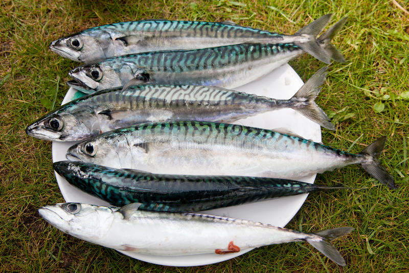 Makreel stock fotografie