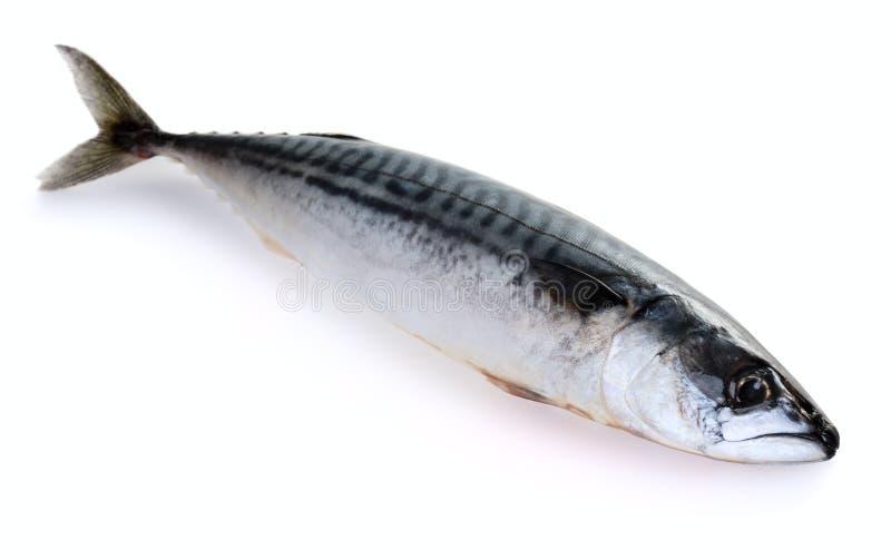 makrela zdjęcie stock