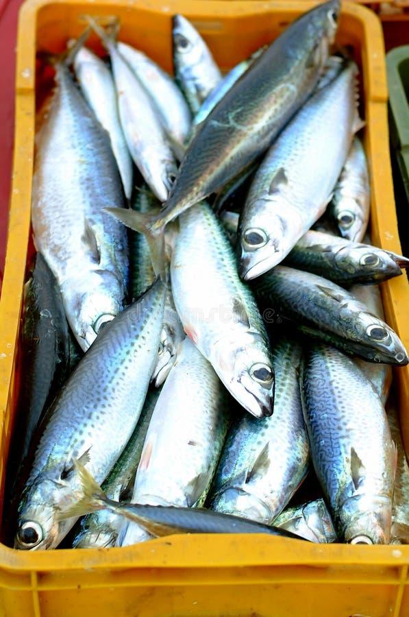 Makrele stockfotografie