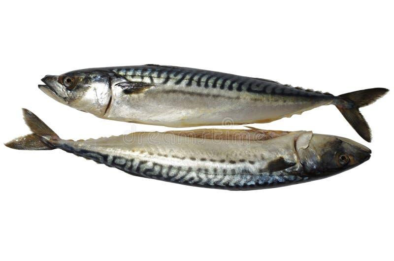 Makreli ryba zdjęcia royalty free