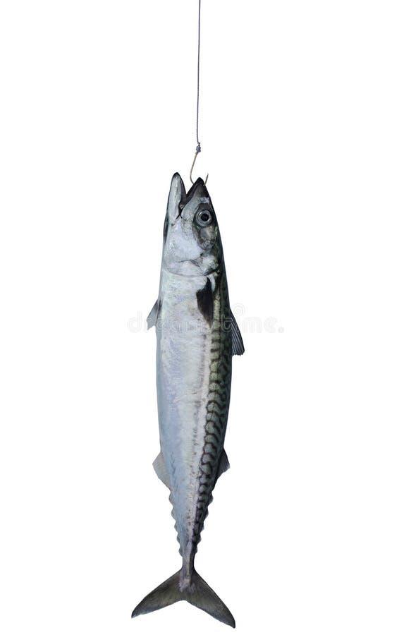 Makreli ryba fotografia stock