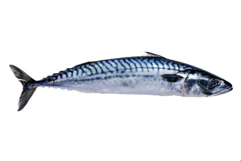 Makreli ryba Odizolowywająca na Białym tle mrożona ryba lukrowa atlantycka ryba makrela Makrela wzór Skumbriowa tekstura Pusty s obrazy royalty free